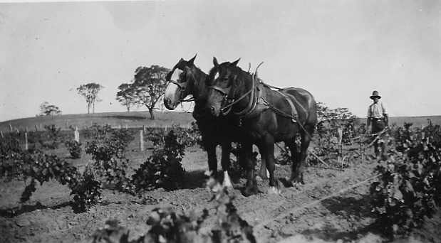 Ploughing between the rows, around 1900